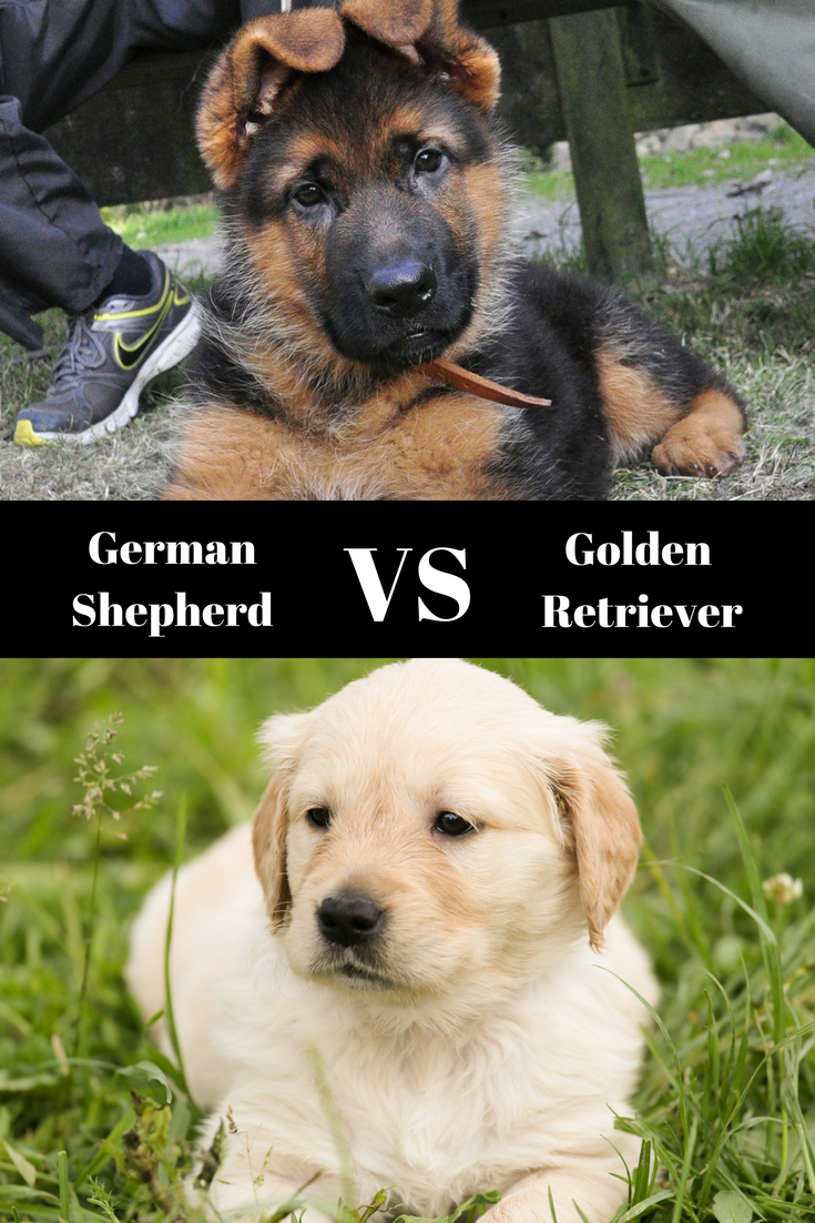 Read Our In Depth Comparison Of The German Shepherd Vs Golden Retriever Personal Protection Dog Retriever German Shepherd Puppies