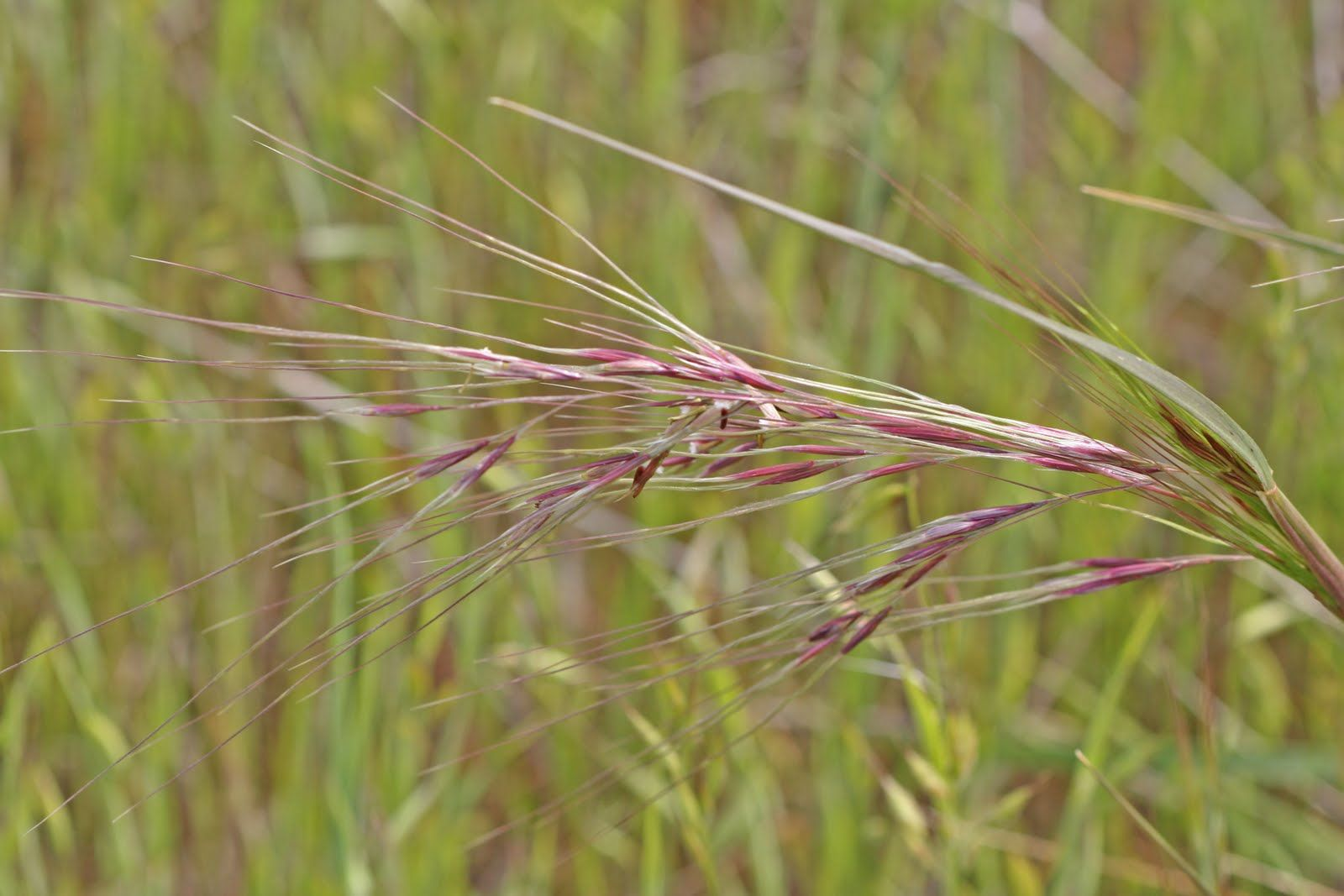 Purple needlegrass ink pinterest grasses purple and for Purple grass