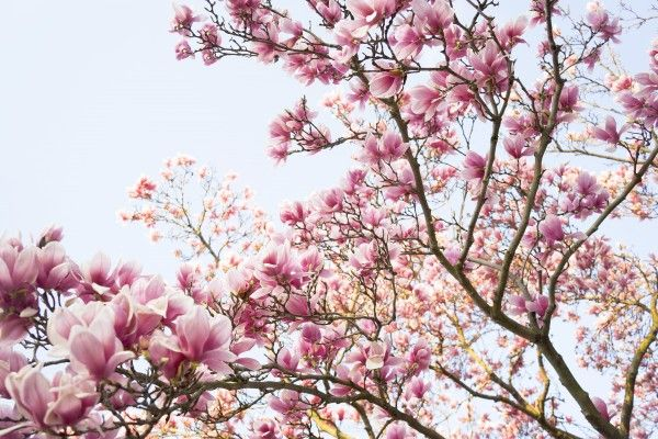 Magnolia Trees Washington Dc Flowers Pinterest Magnolia