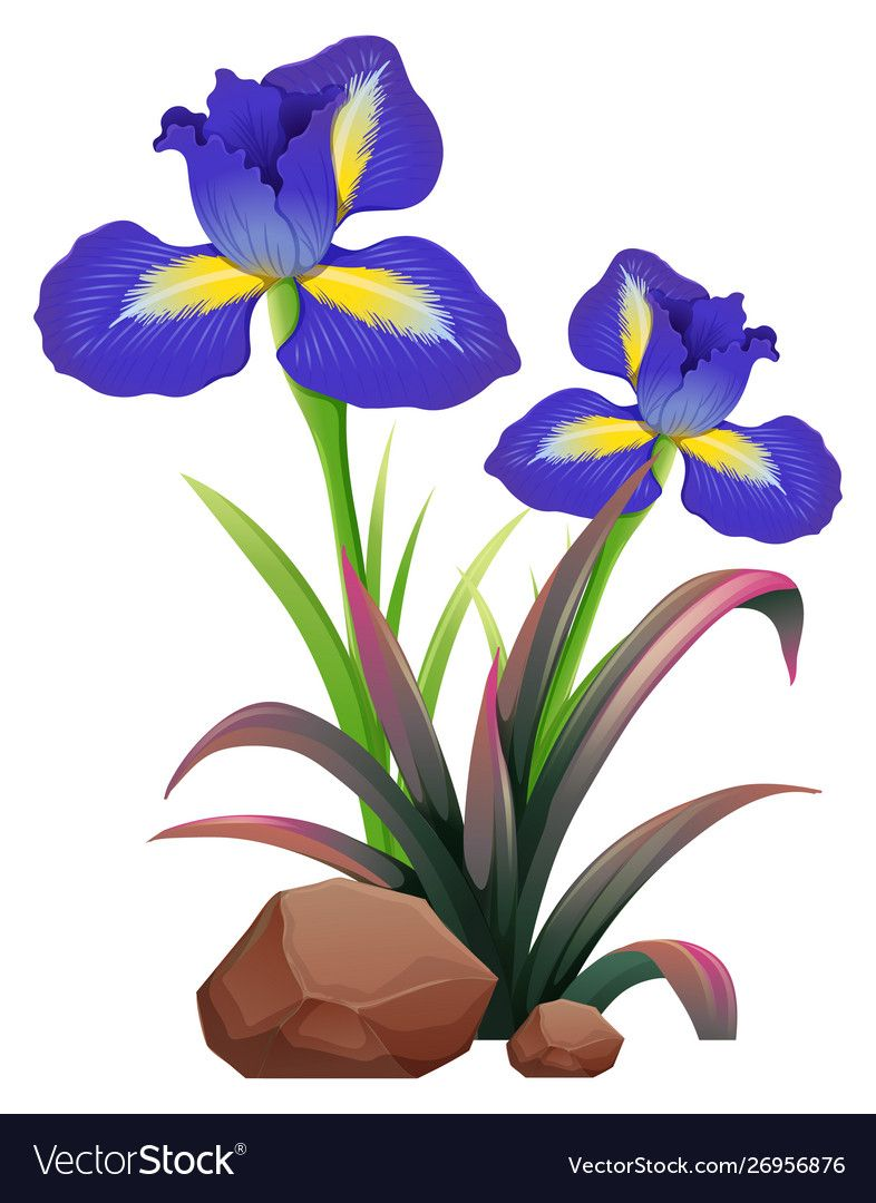 Two Iris Flowers On White Background Vector Image On Vectorstock In 2020 Flower Painting Digital Flowers Iris Flowers