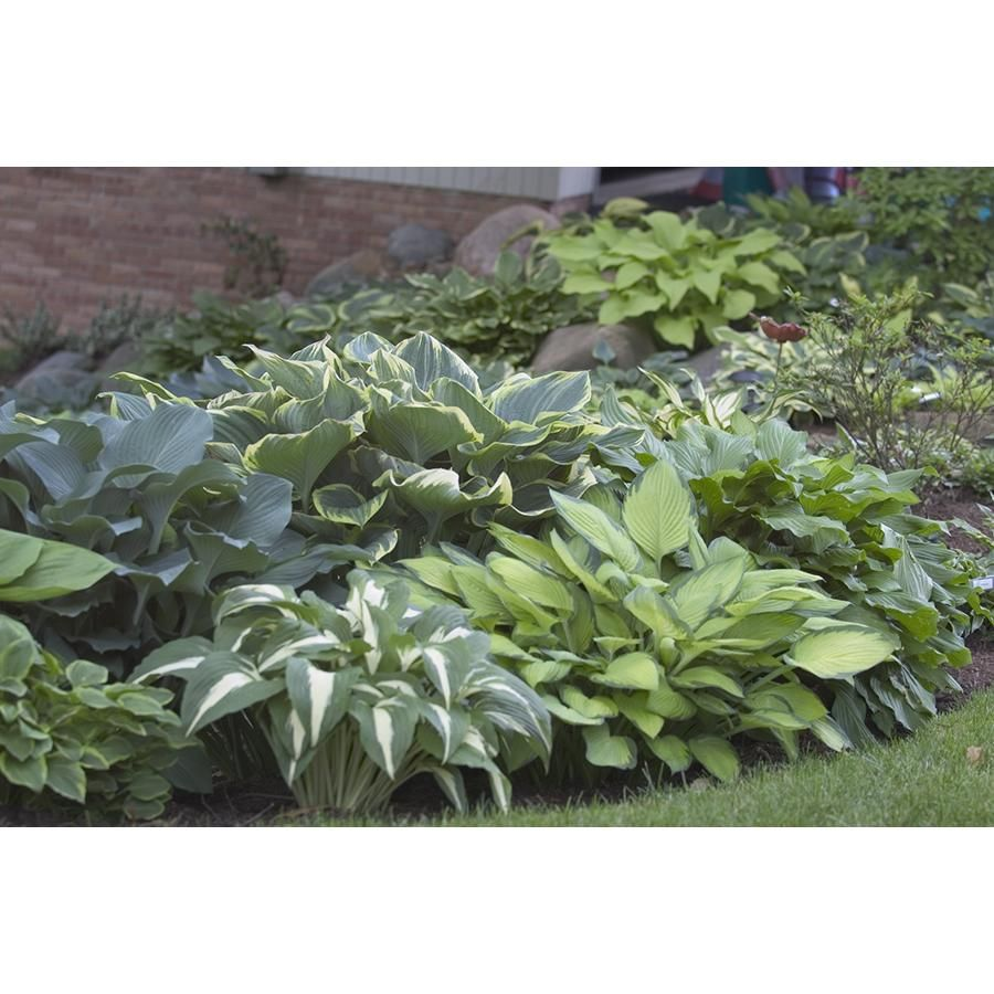 100 For 100 Hostas 100 Mixed Hosta For The Home Plants Shade