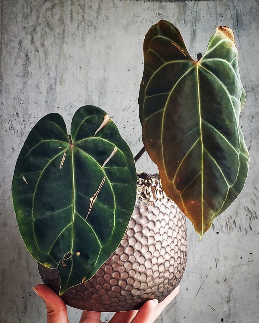 It S Anthuriumthursday Again So Here S My Travel Worn But Full Of Potential Besseae This Plant Is The Whole Package For Me Anthurium Plants Plant Leaves
