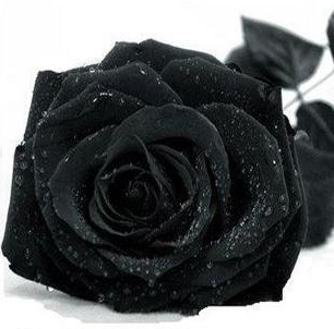 Black Rose Black Rose Flower Gothic Rose Rose Seeds