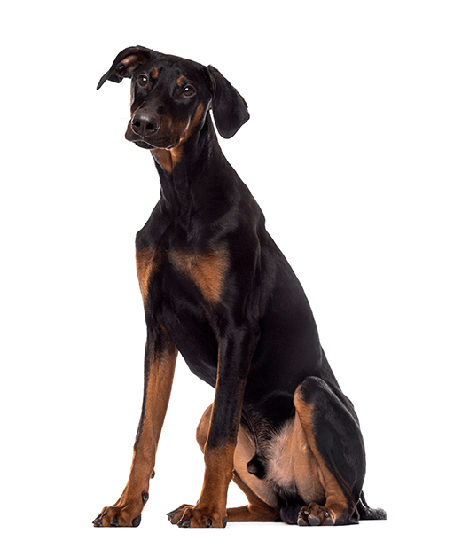 Doberman Pinscher Puppy Sitting 6 Months Old Doberman