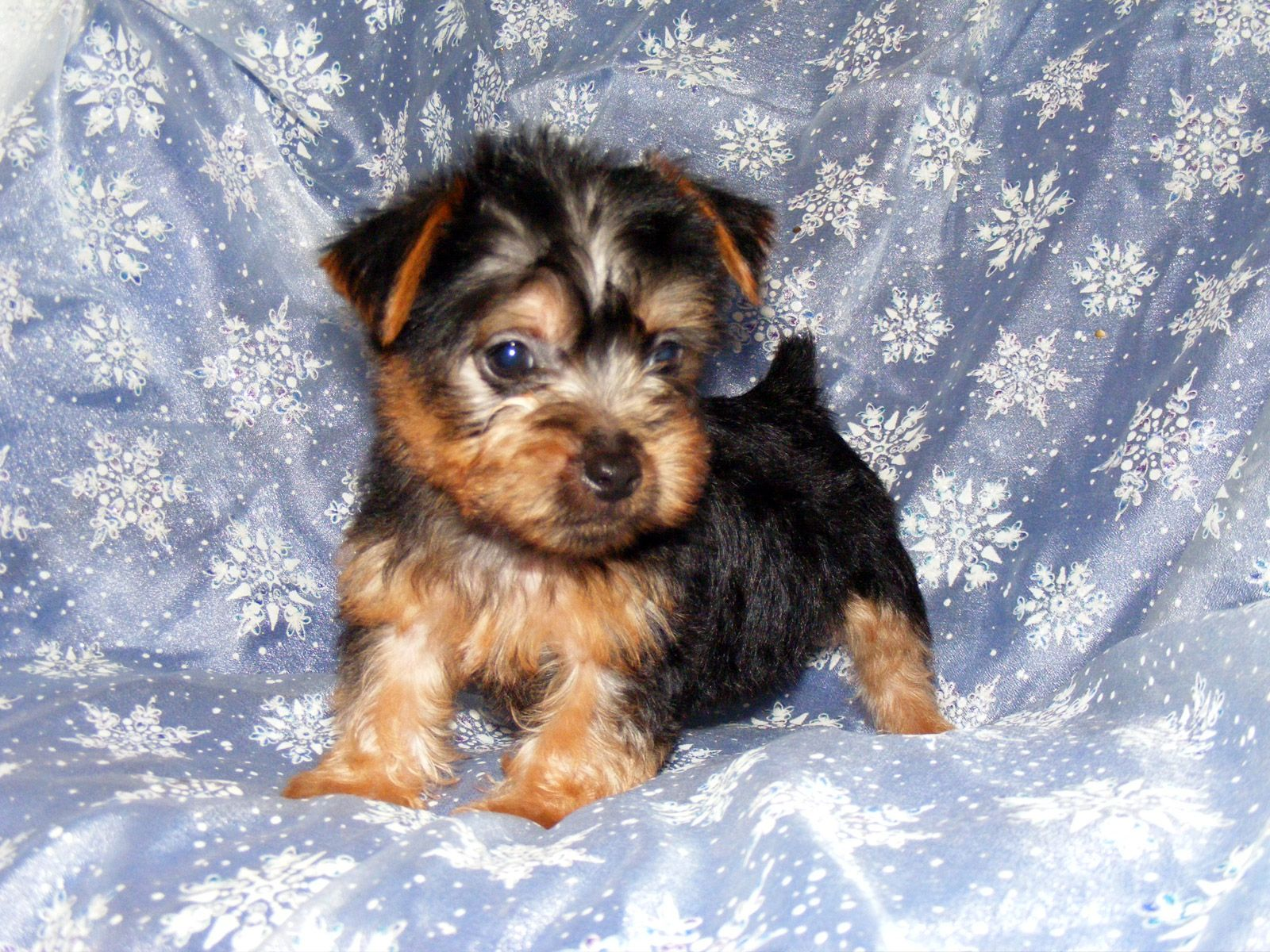Dogs Wallpapers S Photo Puppy Small Dog Australian Silky Photo