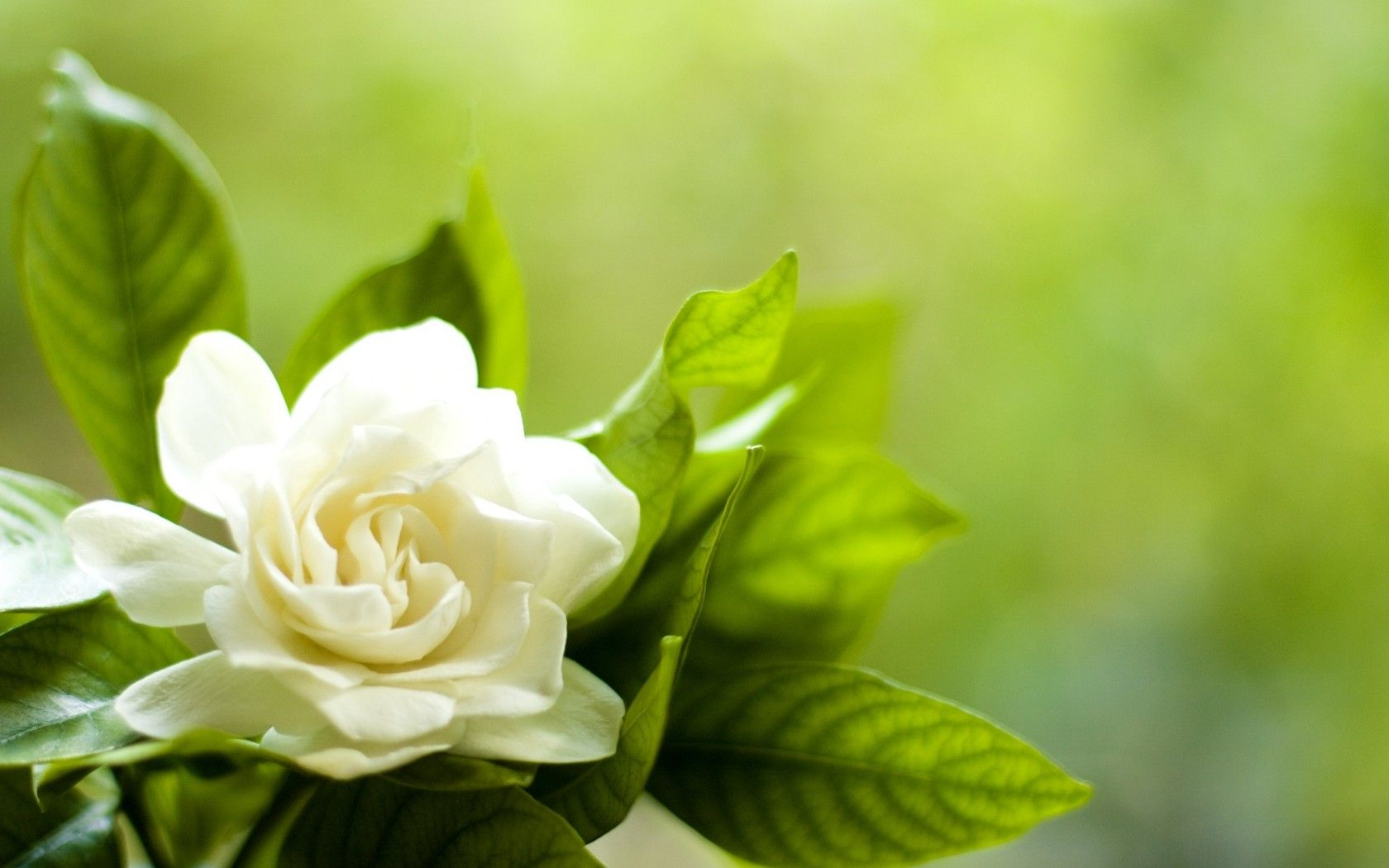 Gardenia Flower Wallpapers & Beautiful Gardenia