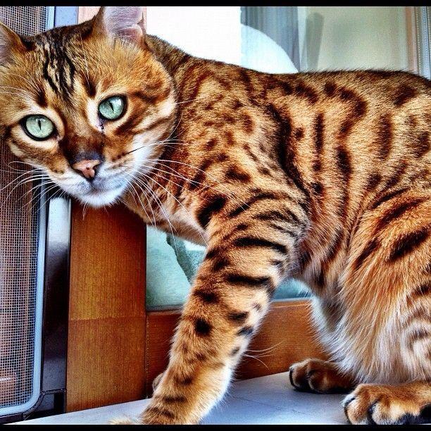 savannah cat Savannah cat, Cats, Beautiful cats