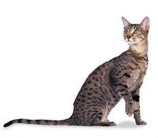 egypitain mau cats | egyptian mau cat items on ebay description of egyptian mau