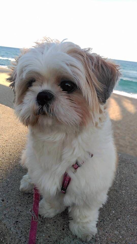 Find Out More On Cute Shih Tzu Health Shihtzulover Dogshitzu Shihtzutraining Shih Tzu Puppy Shih Tzu Dog Shih Tzu