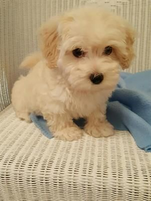 MALTI POO & MALTESE PUPS Malti poo & maltese pups playful, loving babies. 5 way vac. & utd on deworming. $700. Call  678-523-0810
