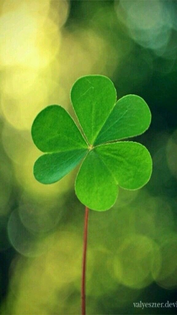 St Patrick S Day Four Leaf Clover For Good Luck Green Shamrock St Patricks Day Wallpaper Clover Leaf Leaves