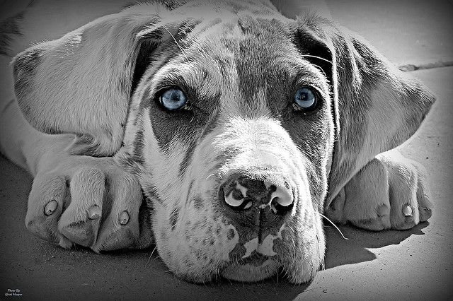 Great Dane Puppies picture of Greatdane puppy Great