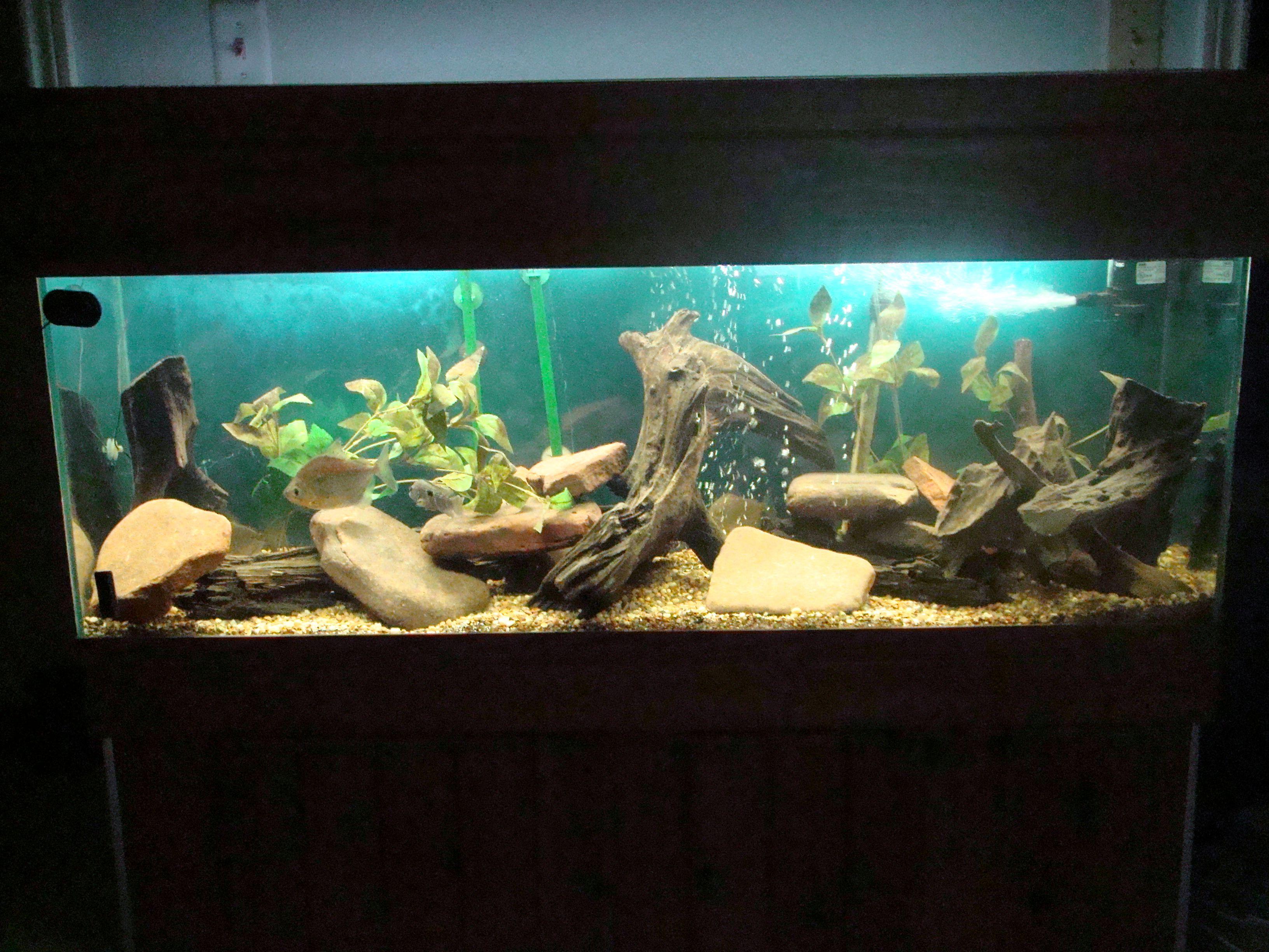 Catfish Habitat | Pictus Catfish Habitat Aquarium Pinterest Catfish Aquariums