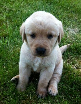 Golden Labrador Puppy For Sale In Chehalis Wa Adn 31493 On Puppyfinder Com Gender Male Age Golden Labrador Puppies Labrador Puppy Labrador Puppies For Sale