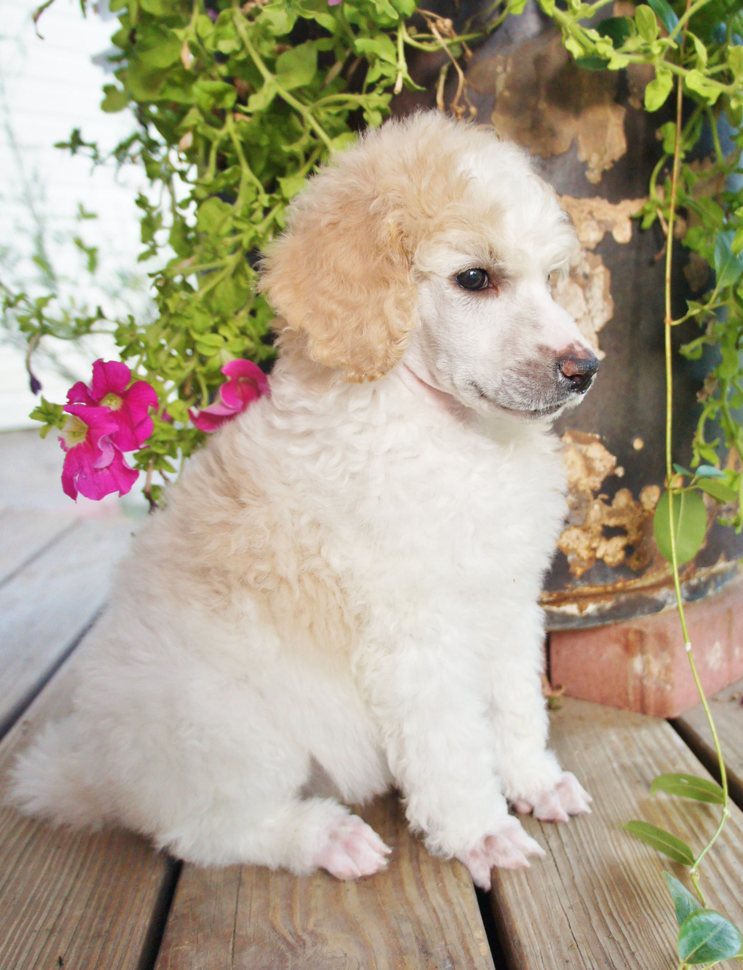 Available Girl Apricot And White Parti And Ready To Go Oct 23rd