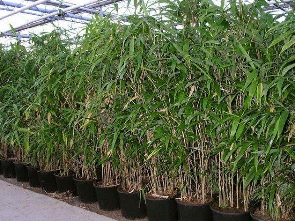 Kann ich Bambus im Kübel halten Bambus garten, Bambus im