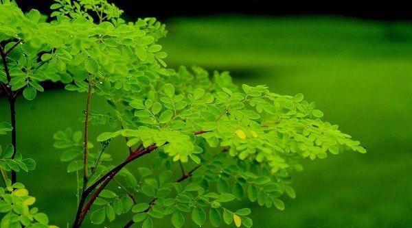Un repaso por las caracter sticas de los moringa oleifera for Las caracteristicas de los arboles