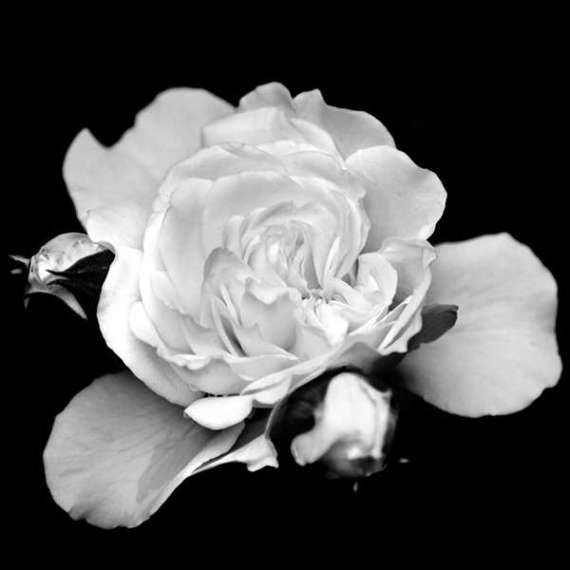 Flower print black white wall art fine art photograph black white flower print black white wall art fine art photograph black mightylinksfo