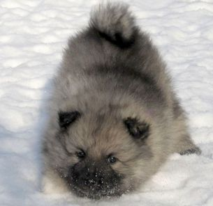 Puppies Keeshond In Central Europe Keeshond Puppies Fluffy