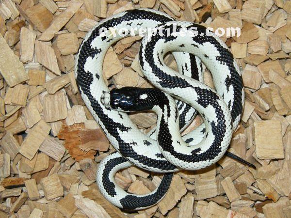 Lampropeltis Getula Californiae California Kingsnake Aberrant - California king snake morphs