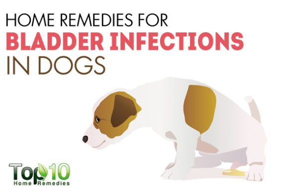 Home Remedies For Bladder Infections In Dogs Bladder Infection In Dogs Urinary Tract Infection Pet Insurance Reviews