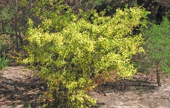 Pickly Moses Acacia Verticillata Acacia