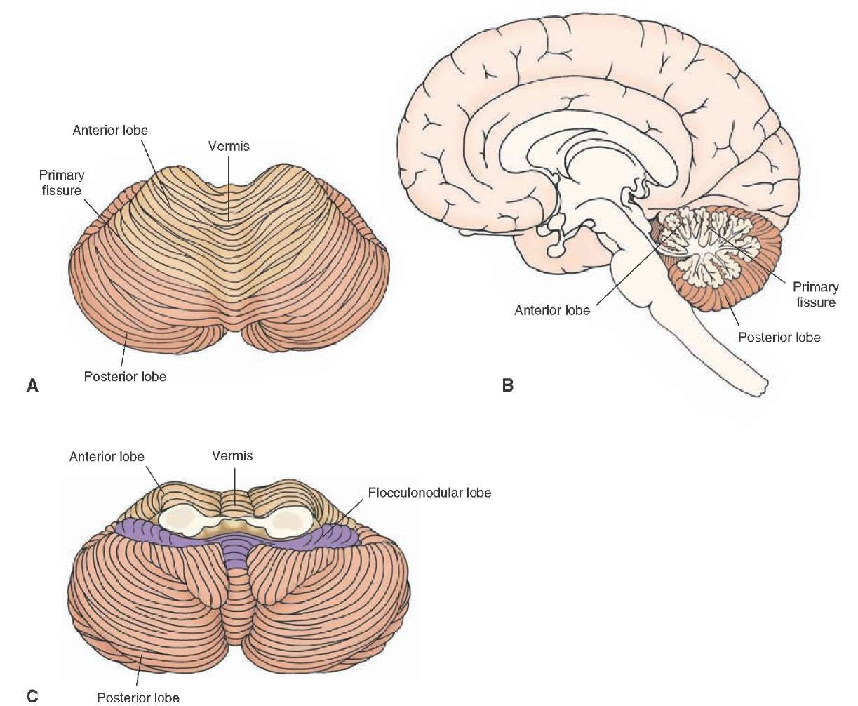 cerebral vermis | FIGURE 11-7 Cerebellum. Superior (A), midsagittal ...