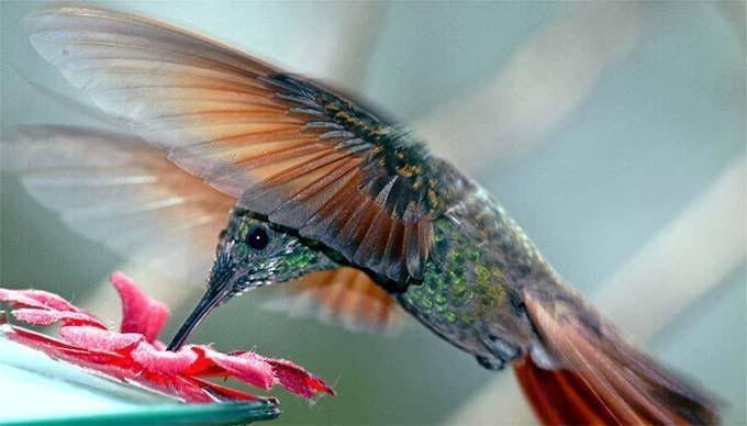 hummingbird video pinterest   Found on s186.photobucket.com