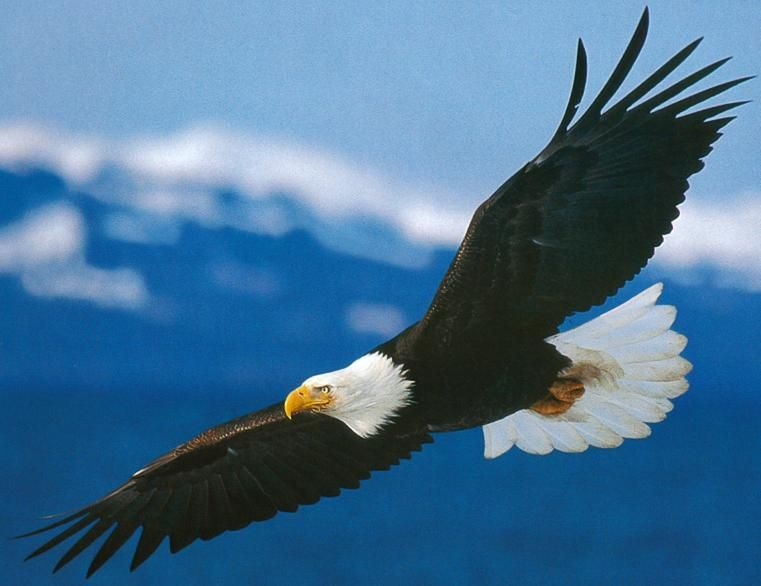 Exceptionnel La Beauté de l'Oiseau Libre dans la Nature (aigle  IK06
