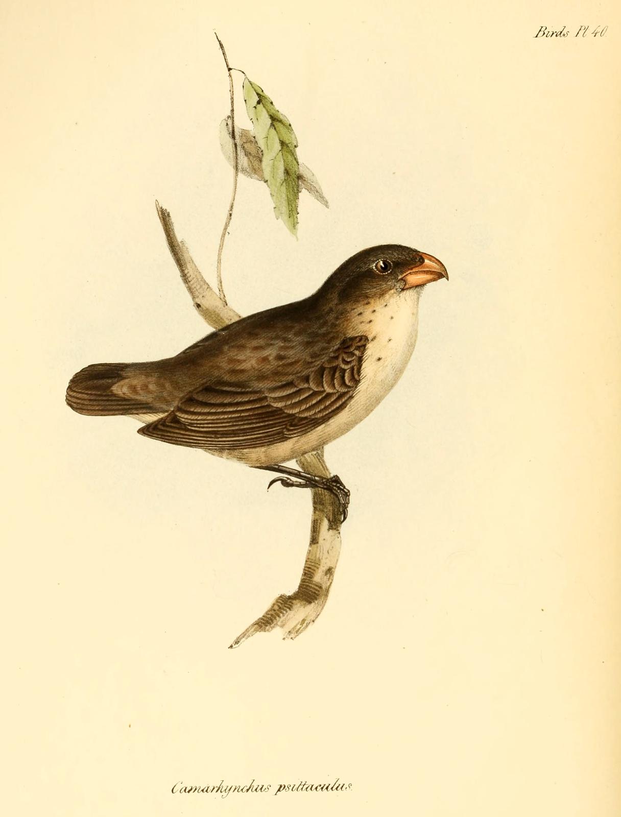 Darwin S Finches By Elizabeth Gould