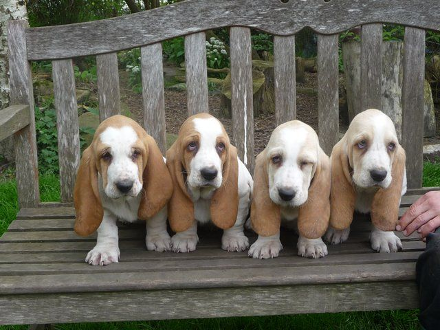 Lemon Basset Hounds You Soon Will Be Mine With Images