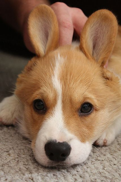 Cutest Paw On Cute Animals Puppies Corgi