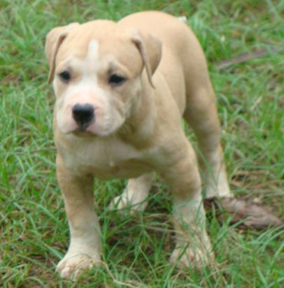 American Pitbull Terrier Puppies For Sale American Pitbull