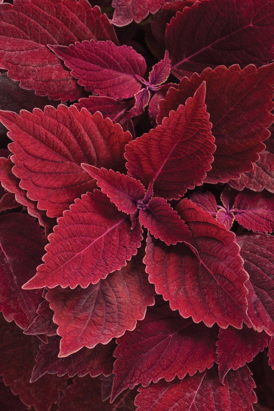 Colorblaze rediculous coleus solenostemon scutellarioides