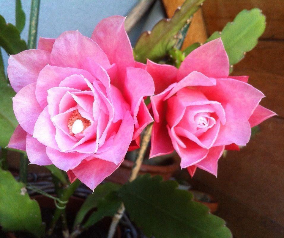 epiphyllum 'princess linda - opening buds