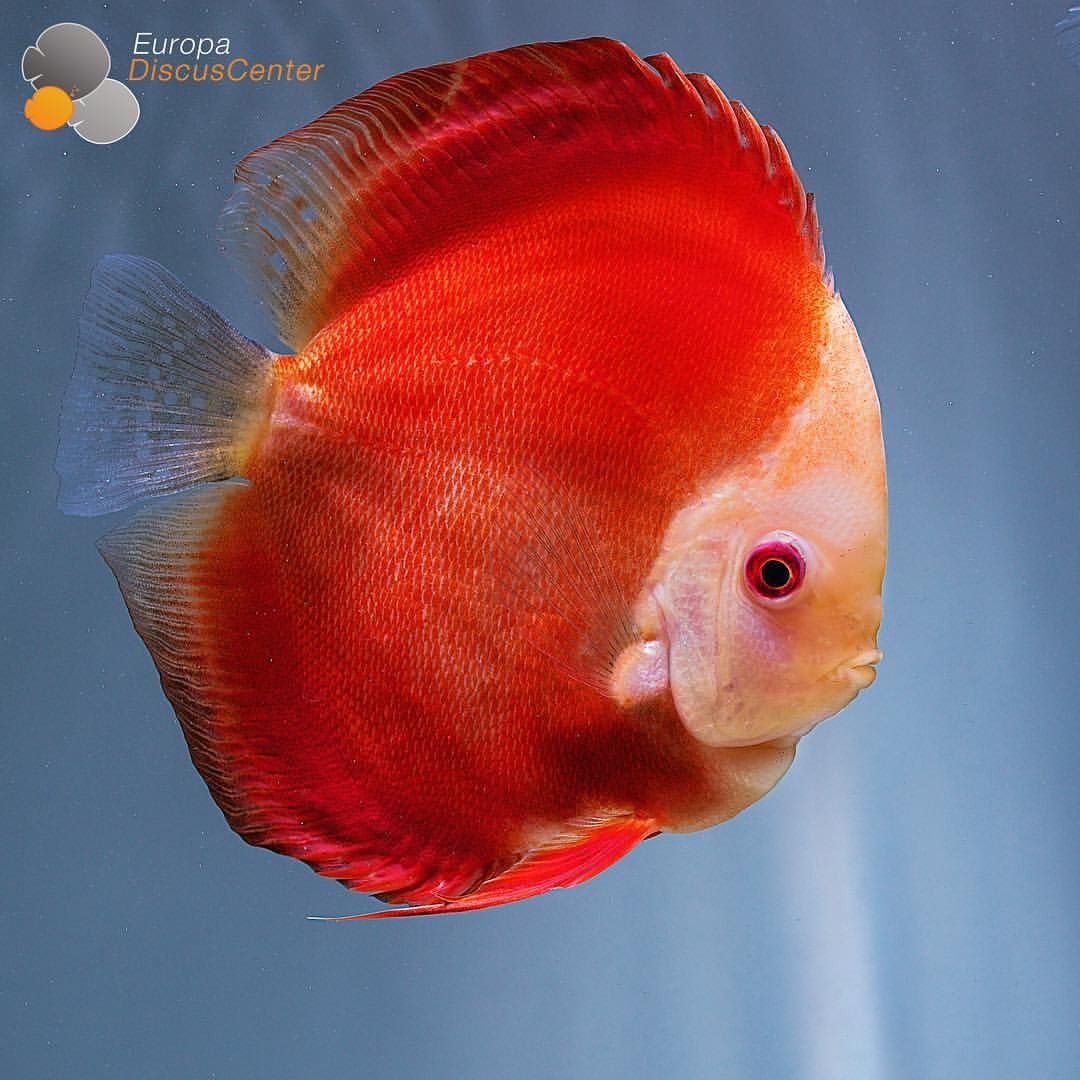 Red Melon Discus | Aquarium Fish - Cichlid Crazy | Pinterest ...