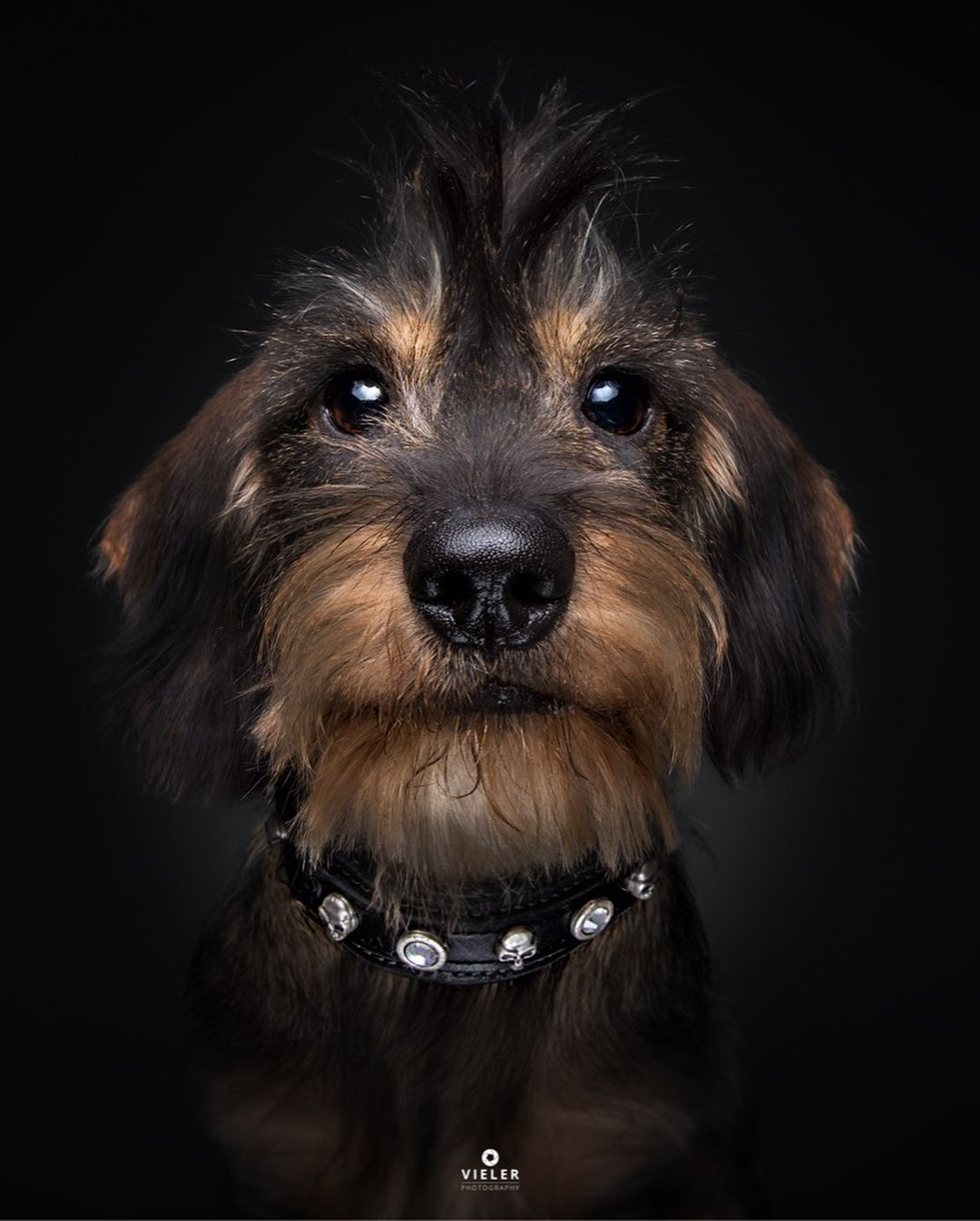 Longhaired Dachshund Such A Cutie Wire Haired Dachshund