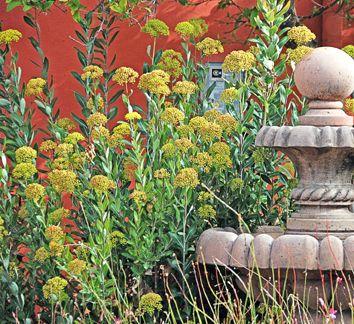 Bupleurum Fruticosum Shrubby Hare S Ear Dry Shade Plants Shade Plants Drought Tolerant Garden