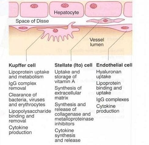 Photo Of The Non Parenchymal Cells Function Of The Liver Functions
