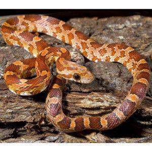 Albino Amelanistic Corn Snake