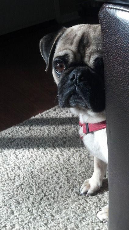Mr Pug Says Is The Vacuum Monster Gone Pugs Cute Pugs Pug