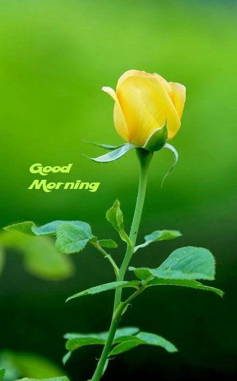Flower Wallpaper Yellow Good Morning