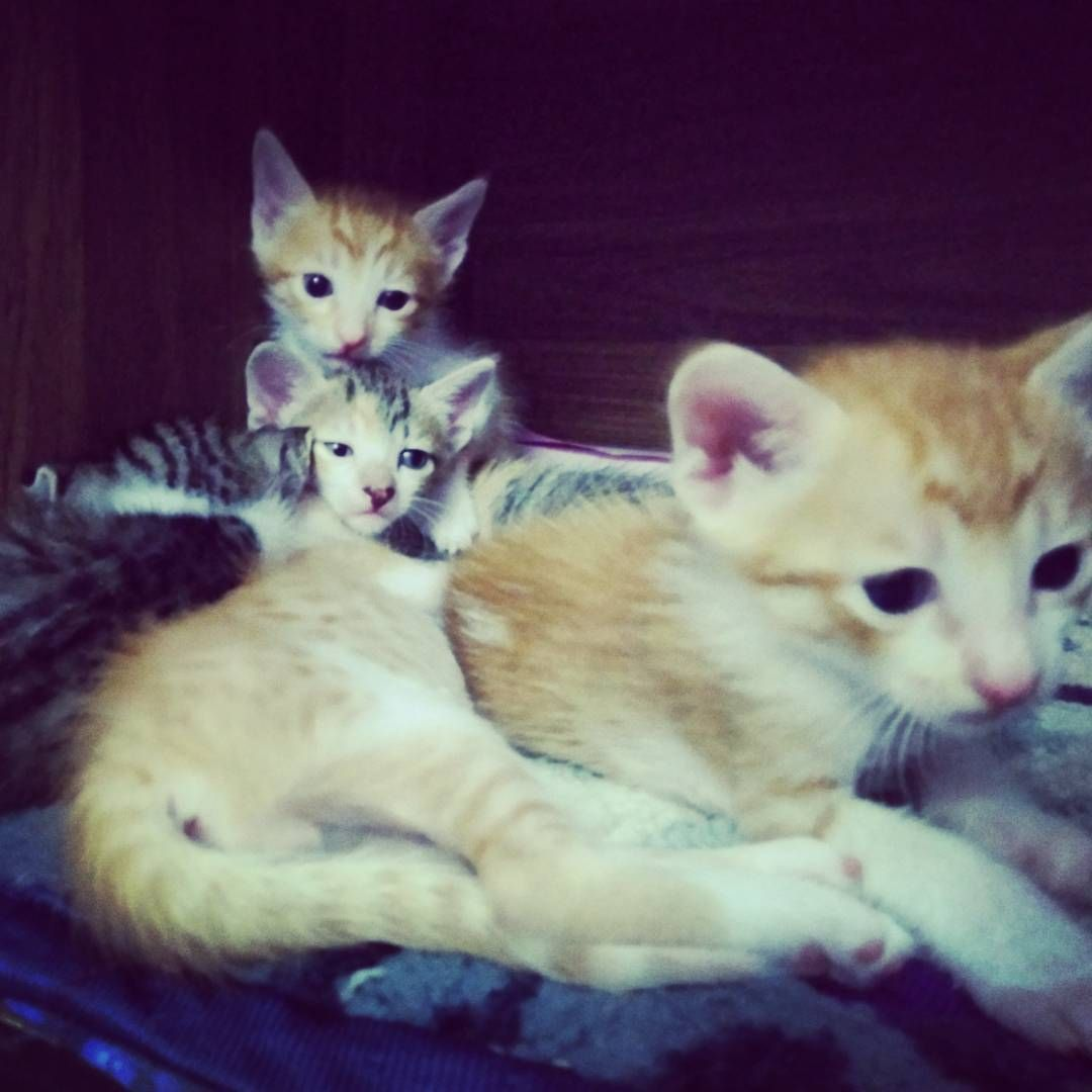 Five Kittens 2 Female 3 Male Just Over A Month Old And Born To A House Cat Are Up For Urgent Adoption Delhi In 2020 New Baby Products Foster Parenting Kittens