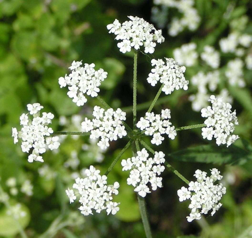 Spring at the fort worth nature center socrates flowers and poison hemlock queen anns lace look alike but deadly socrates died of poisining izmirmasajfo Gallery