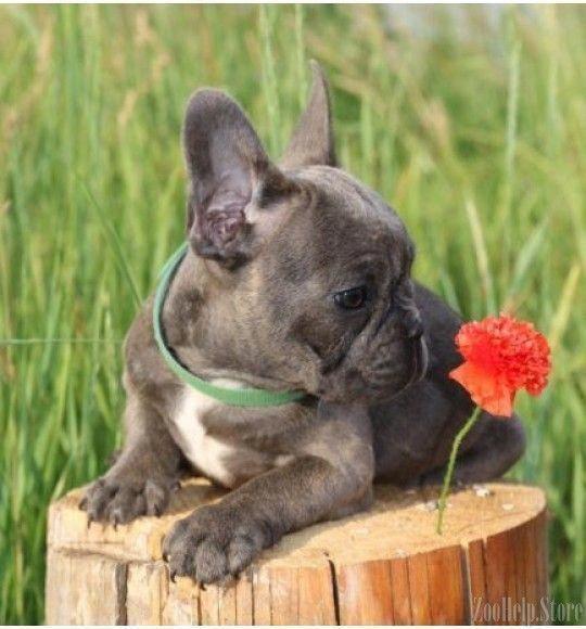 French Bulldog Playful And Smart Cute French Bulldog Bulldog