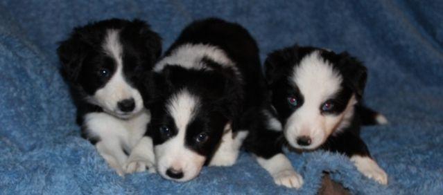 Border Collies Breeder Oberon Kennels Dog Love Border Collie