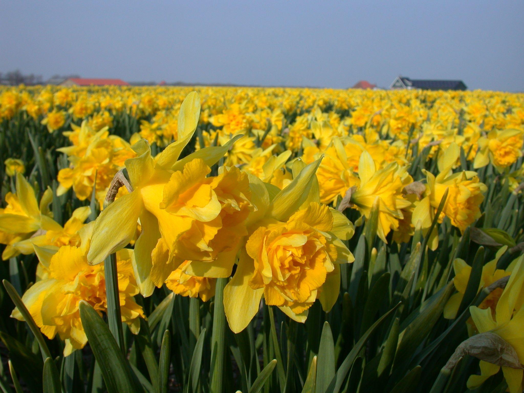 Daffodil Field Nature Plants Daffodils Daffodil Flower