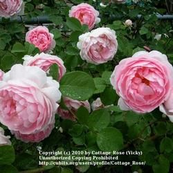 Yes, you can grow roses in colder zones!!