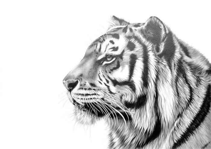 Bengal Tiger Drawings | Pencil Drawings | Pinterest | How ...