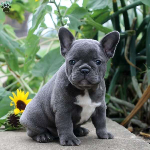Misty French Bulldog Puppy For Sale in Pennsylvania